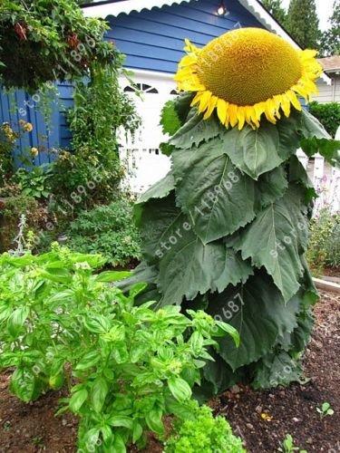 20PCS Sonnenblume Samen Riesen-Sonnenblumen seltene Blume Samen für Home Garten Pflanzen Sonnenblume Samen Vögel