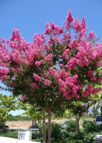 TROPICA - Lilas des Indes violet (Lagerstroemia indica violacea) - 200 graines- Magie tropicale