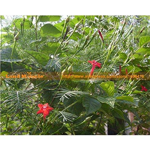 Environ 35 graines / paquet, poivre de Cayenne Graines Heirloom Légumes Graines Super Black Hot Pepper Seeds Terre Miracle # C022