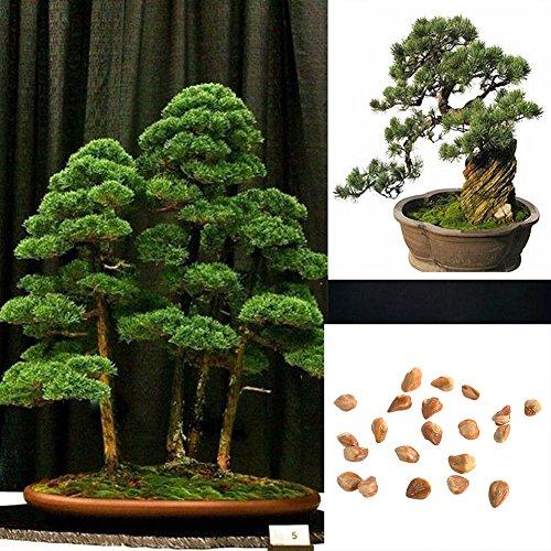 Dyyicun12 Samen für Bonsai, japanische weiße Kiefer, Pinus, Parviflora, Grün, 20 Stück
