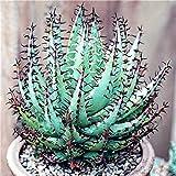 Anitra Perkins - 100 Korn Selten Riesen Aloe Vera (Aloe barbadensis) Samen Zierpflanze Zimmerpflanzen Erste-Hilfe-Pflanze Bonsai saftig mehrjaehrig (Grün)
