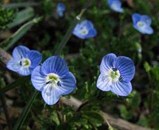 500 Seeds Dwarf Veronica Royal Candles Spiked Speedwell Sunny Border Blue Seeds