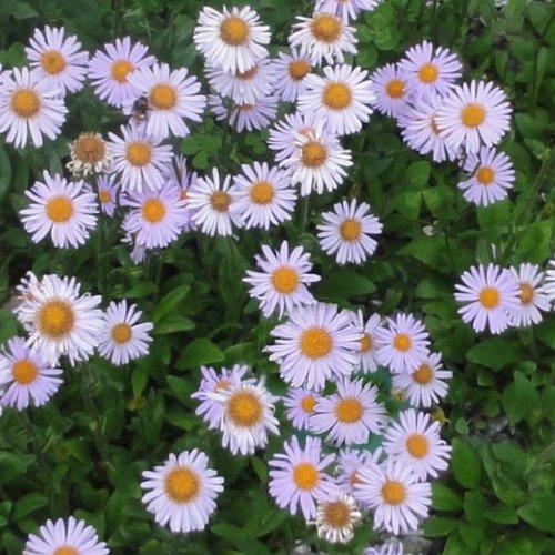 Plant World Seeds - Aster Flaccidus Seeds