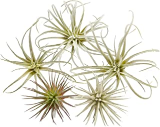 Best artificial air plants for sale Reviews