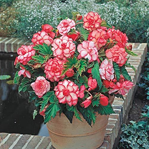 Rosebud Picotee Begonia (Red & White) - 2 Bulbs