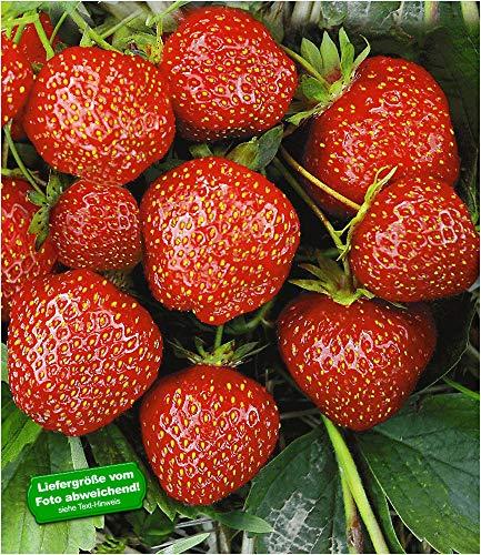 BALDUR Garten Erdbeere Hummi®´s 'Sengana Selektion', 6 Pflanzen Fragaria
