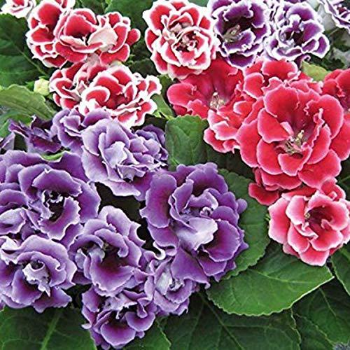 Kraft Seeds Gloxinia Flowers Canterbury Bells Scented Fragrant Beautiful Tropical Flowers Exotic Garden Flower Bulbs (Pack of 3) - Set of 2