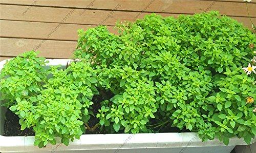 Egeria basilic graines \