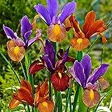 3 Pezzi Bulbi Di Iris Misti Petali Profumati Dai Colori Vivaci Bulbi Di Iris Perenni Da Piantare Sui Balconi Del Giardino Bassa Manutenzione
