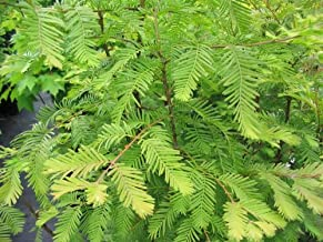 Bald Cypress 3 - Year Seedling