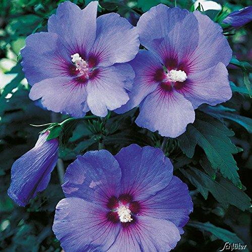 Hibiscus 'Blue Bird'
