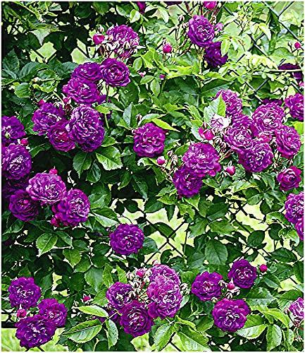 BALDUR Garten Rambler-Rosen 'Bleu Magenta', 1 Pflanze Kletterrose winterhart mehrjährige Kletterpflanze