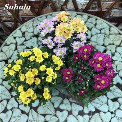 Daisy Graine Fraise Parfum crème glacée Plantes en pot Chrysanthemum mixtes Bellis perennis Pour jardin Bonsai 120 Pcs 15