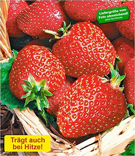 BALDUR-Garten Immertragende Erdbeere 'Seascape®', 6 Pflanzen Fragaria Erdbeerpflanzen winterhart