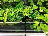 G'z 6 Water Wisteria (Hygrophila Difformis), Live Aquarium/Aquatic/Stem Plant