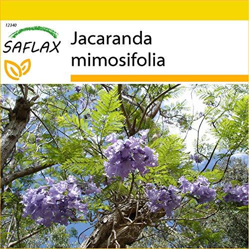 SAFLAX - Set per la coltivazione - Jacaranda - 50 semi - Jacaranda mimosifolia