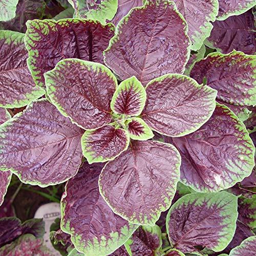 Petite graine d'amarante rouge Han Hancai graines quatre saisons semis balcon balcon jardin en pot plantation facile graines de légumes colza 500G