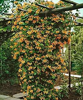 Mandarin Honeysuckle Vine - Perennial - Lonicera - 2.5