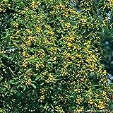 Zierapfel 'Evereste' - Malus - Winterhart, eßbar, gut zum Einmachen geeignet, orangerot bis hummerrot - Liefergröße 60-100cm