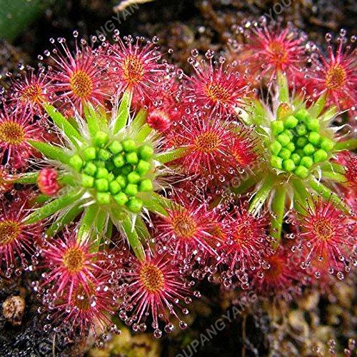 50 Pcs Jardin Plante en pot Flytrap Graine Bonsai Dionaea géant Graines clip Dionée Plante carnivore graines de plantes Bourgogne