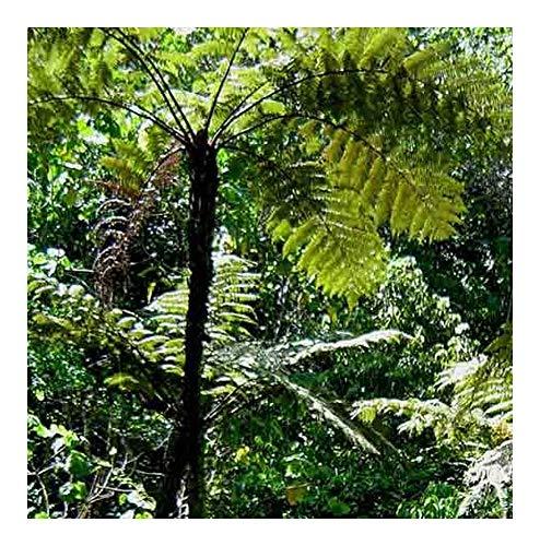 Cyathea erinacea - fougère arborescente - 10 graines