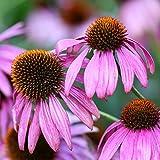 Semillas de Coneflower púrpura - Echinacea purpurea