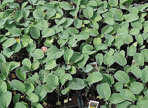 Portal Cool 1000 Samen Broccolini Rapini/Raab / Rabe/Broccoli