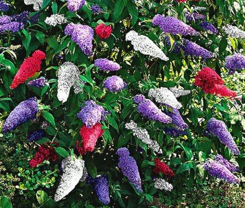 Cespuglio di farfalla MIX Buddleia Davidii - 200 Semi Bulk