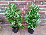 10 Kirschlorbeer Pflanzen, Höhe: 50-60 cm ab Topf, Prunus laurocerasus Rotundifolia (buschig)