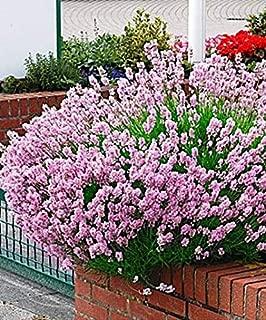 Lavender,HERB, Lavender Seeds -Lavender Pink (Lavandula Angustifolia Rosea)~ Organic, Untreated ! (25 Seeds) by BasqueStore