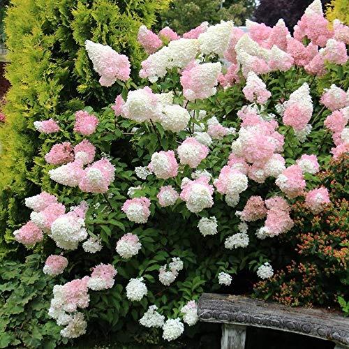 SummerRio Garten-50 Pcs Selten Hortensie Samen Hydrangea Saatgut Blumensamen Gartenblumen Winterhart Mehrjährig Pflanzen Samen für Hausgarten BalkonTerrasse