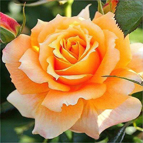 Livraison gratuite 100 / Sac New Rose Seeds 5 Différentes couleurs Rare Vivaces Jardin décoration florale des plantes très facile.