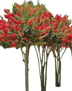 Tonto Crape Myrtle Seeds UPC 600188196177 + 2 Free Plant Markers (150)
