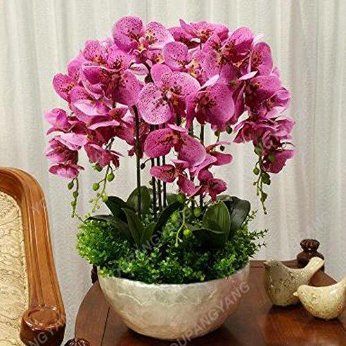Phalaenopsis Seeds 100 pcs rares Mini orchidée Graines de fleurs pour la maison Décoration Facile Graines d'orchidée Cultivez Bonsai Pour jardin Plum