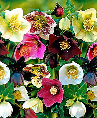 5x Helleborus orientalis | 5er Set Frühlings-Christrosen Pflanzen Winterhart | Frühblüher Pflanzen | Wurzelnackte Pflanzen