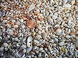 1lb Tiny Indian Shell Mix Seashells 1/4' - 1/2' Craft Mini Shells Candle Making Beach Crafts Nautical