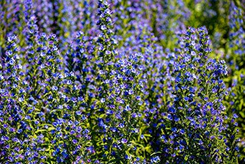 Wegerichblättriger Natternkopf 70 Samen (Echium Blue Bedder)