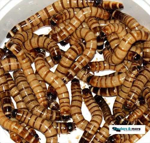 Zophobas gut gefüllte Dose. 50 Gramm lebend und frisch verpackt Futterinsekten, Angelköder 100g/3,98EUR