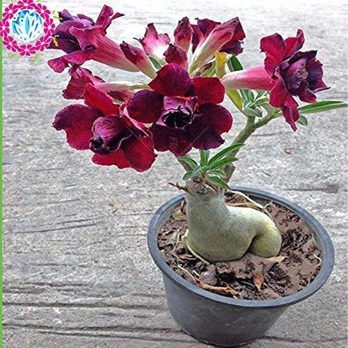 Kaufen Sie Evodia Tree Seeds 400pcs Pflanze Evodia Daniellii Baum Chou Tan für Wu Zhu Yu