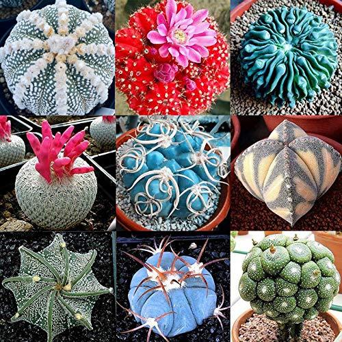 Las semillas de cactus, Cactus 100 piezas Semilla Mini Fácil Cultivando Ligera decorativo Bonsai Semilla para jardinería Ideal regalo al aire libre