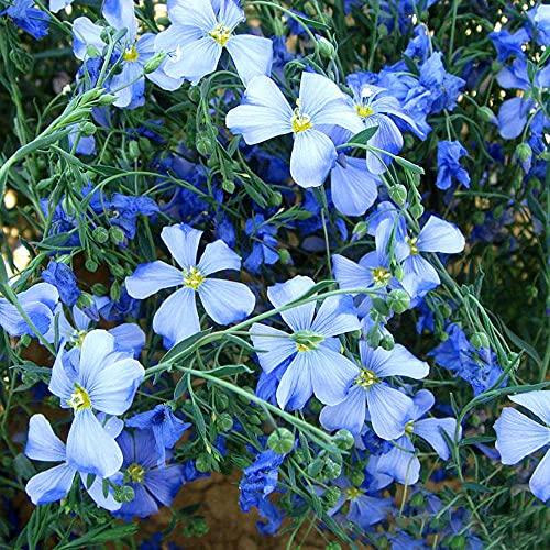 Das ganze Jahr über blühen,,Blue...