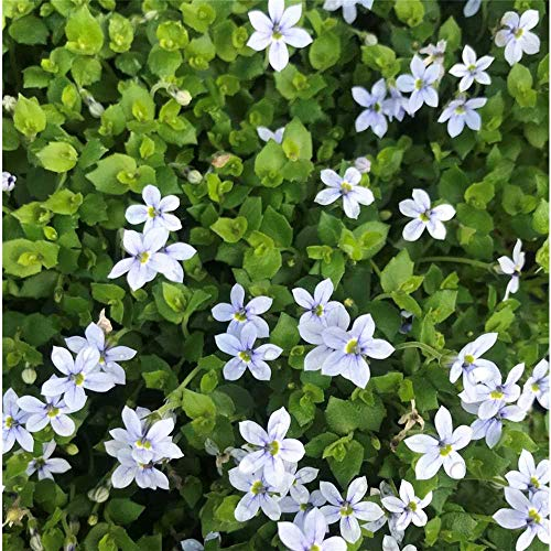 Garten-Scheinlobelie 'Blue Star' - Isotoma axillaris 'Blue Star', blauer Bubikopf, im Topf 12 cm, winterhart, in Gärtnerqualität von Blumen Eber - 12 cm