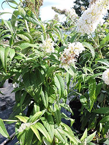 1 Stück Sommerflieder / Schmetterlingsflieder 'White Profusion' (Buddleja davidii 'White Profusion') Containerware 40-60 cm hoch,
