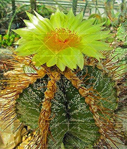 100pcs vrai Succulent Cactus graines de figue de Barbarie Bonsai Graines de fleurs Plante en pot pour jardin purifient l'air Prévenir les radiations 5