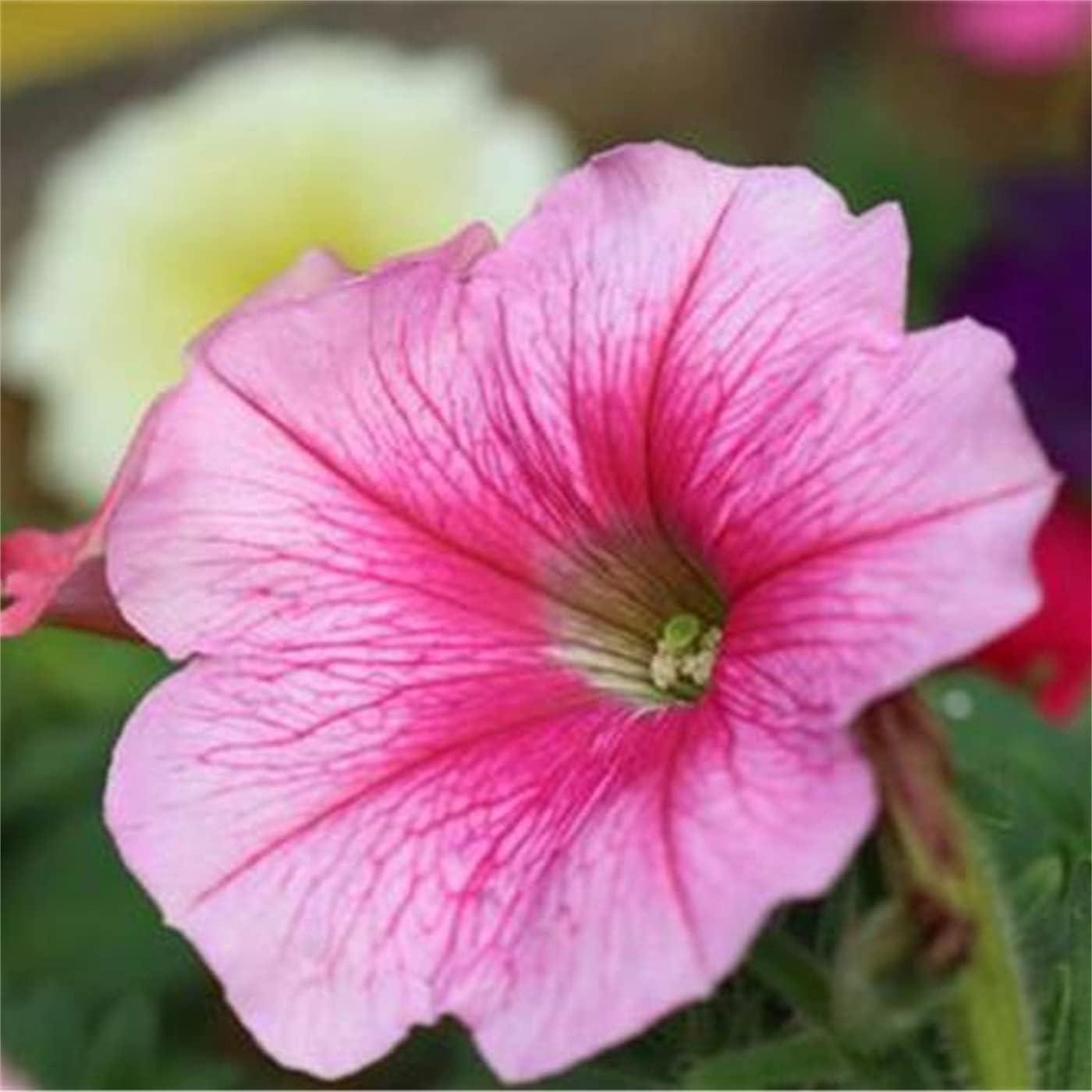 Mix Petunia Superlatite Seeds-Home DIY New mail order Decoration Color G Flower Secret Rare