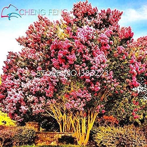 Pinkdose® 30 Samen Heirloom Bonsai Crape Myrte Bonsai Blumensamen Garten Supplies Blumen kleine Samen Töpfe