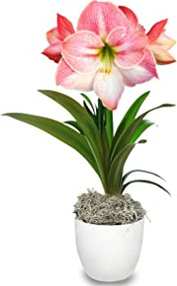 Amaryllis Pink Appleblossom in a White Classic Pot - Pre-Planted Potted Amaryllis Grow Kit Gift   Ships from Easy to Grow TM …