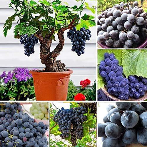 Portal Cool Black Grape Seeds 50 PC/Beutel Traubenbaum Obst Bonsai-Hausgarten-Topfpflanzen