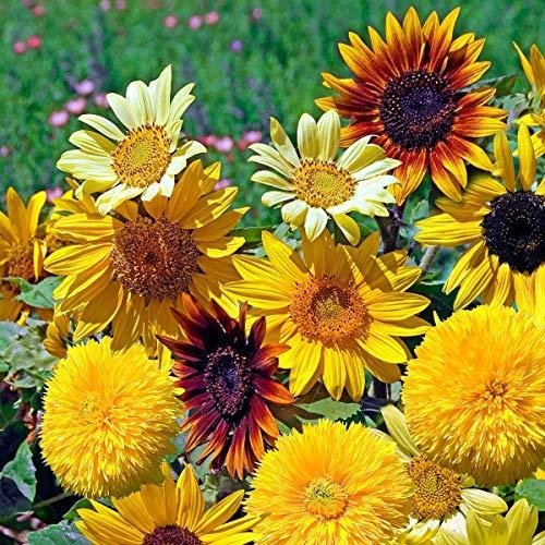Xianjia Garten - Sonnenblumensamen Azteca-Mischung Blumensamen Bunte Mischung niedriger Sonnenblumen,Blumen Saatgut Für Töpfe, Beet und Vase (50)