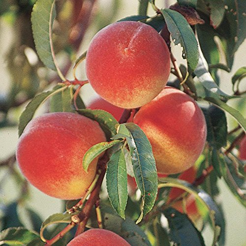 Elberta Peach Tree Live Plants, One of The Most Beautiful and Useful Peach Trees. Large, Yellow with a Red Blush. Yellow Flesh, Very Juicy, Good Flavor, Freestone, Ripens Late. Grafted 5 Gallon